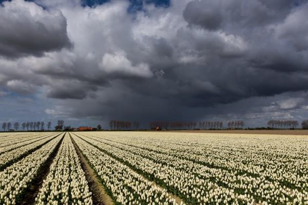 Campo de tulipanes blancos