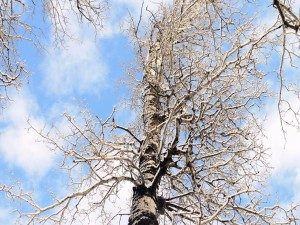 Abedul sin hojas