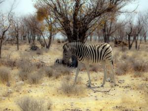 Postal: Cebra en África