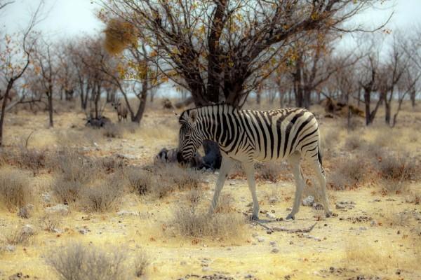 Cebra en África
