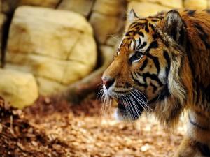 Postal: Tigre visto de perfil