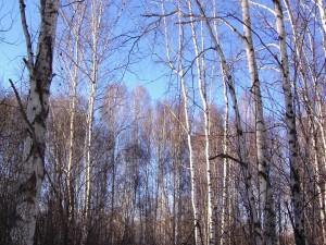 Postal: Los árboles sin hojas