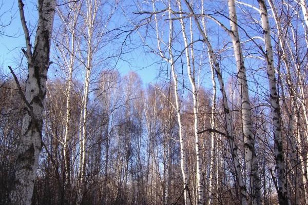 Los árboles sin hojas