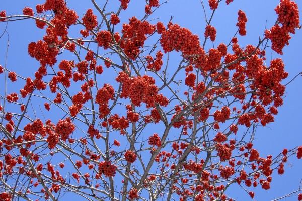 Árbol con semillas rojas