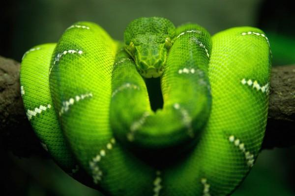 Serpiente arbórea verde