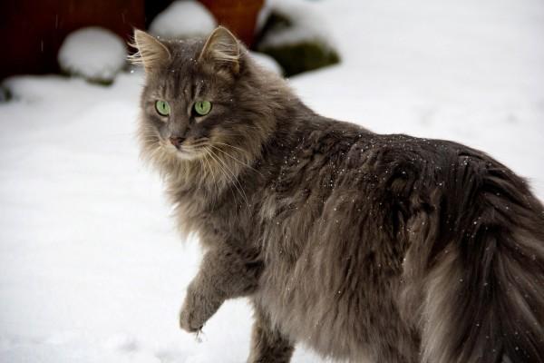 Gato con los ojos verdes en la nieve