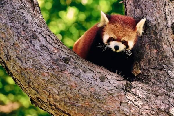 Panda rojo en el árbol