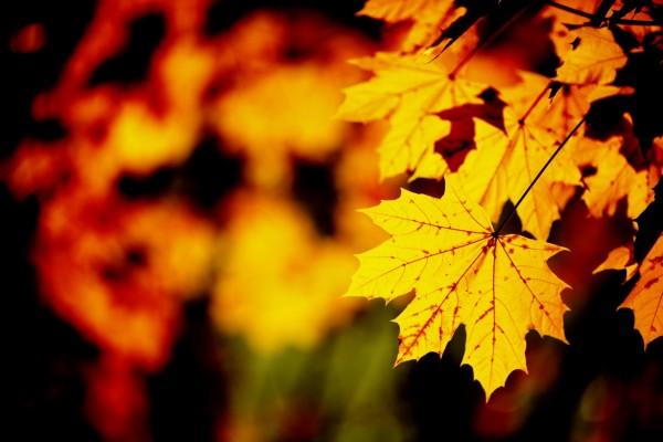 Hojas de otoño en la rama