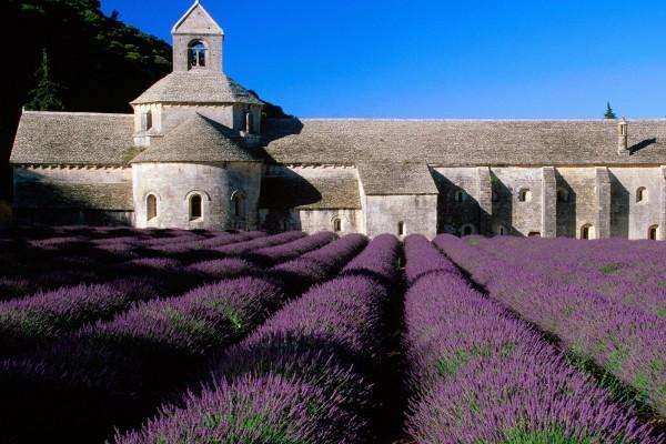 Campo de lavanda en la abadía