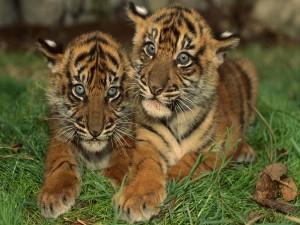 Postal: Hermanos tigres