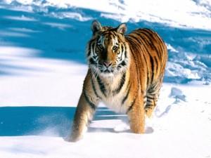 Joven tigre en la nieve