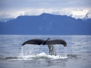 La cola de una ballena