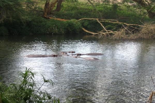 Hipopótamos en el río Tsavo, en el Parque Nacional de Tsavo West, Kenia