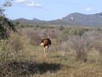Un avestruz en el Parque Nacional de Tsavo West, Kenia