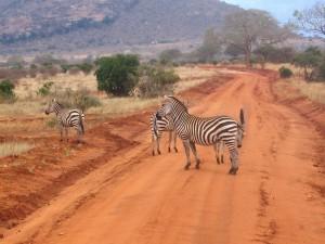 Postal: Grupo de cebras cruzando un camino en Kenia