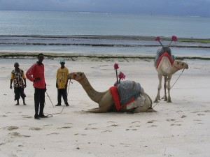 Postal: Dromedarios en una playa