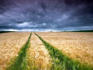 Dos líneas de trigo verde