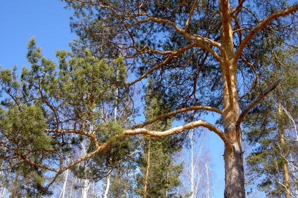 Las ramas de un pino