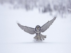 Postal: Lechuza en la nieve