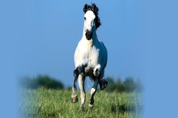 Caballo blanco corriendo en la hierba