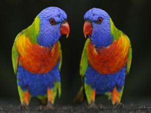 Postal: Dos loris arcoíris