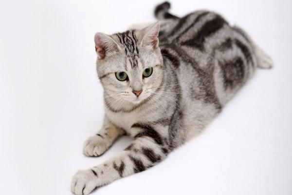 Gato con rayas negras