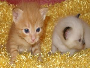 Bebés gato en una alfombra amarilla