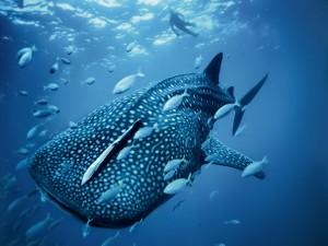 Postal: Tiburón ballena