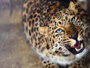 Los colmillos del leopardo