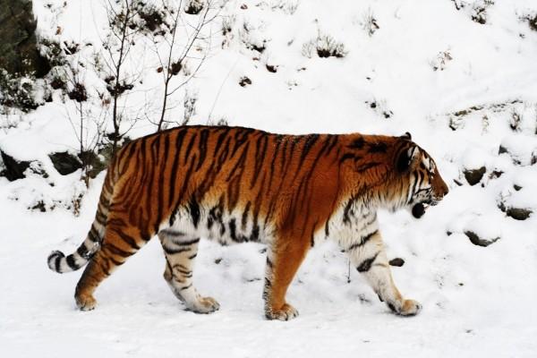Gran tigre andando en la nieve