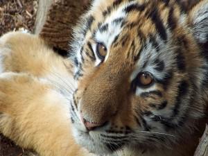 Cara de un tigre joven