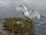 Un cisne en su nido