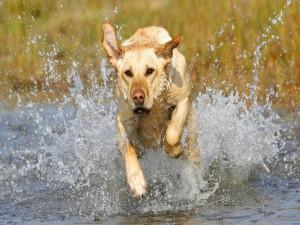 Postal: Perro corriendo por el agua