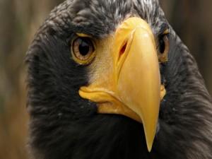 Postal: Águila de pico amarillo
