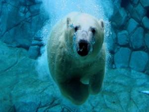 Oso polar buceando