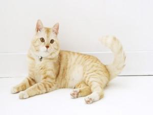 Postal: Gato rubio y blanco
