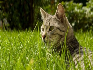 Gato grande en la hierba