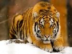 Tigre tumbado en la nieve