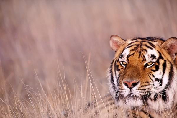 Tigre con la mirada atenta