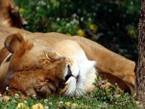 Postal: Leona dormida en la hierba