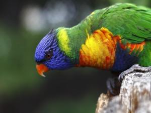 Un lori arcoiris