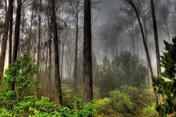 Niebla gris en el bosque