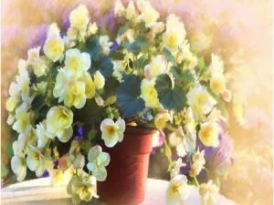 Postal: Begonias pintadas