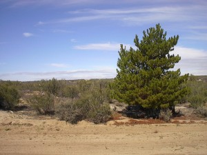 Postal: Un pino en pleno monte
