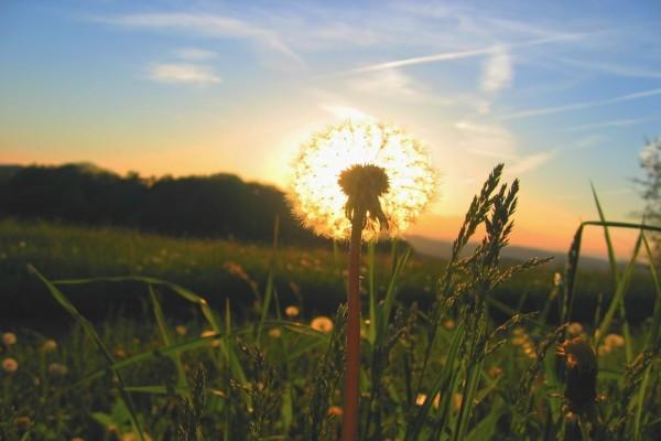 """Flor """"diente de león"""" tapando el sol"""
