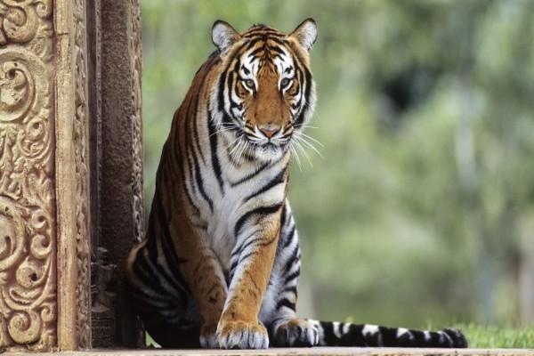 Tigre con mirada vigilante