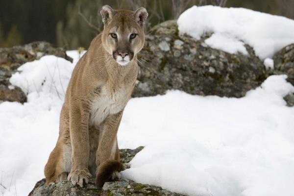 Puma sobre una roca en la nieve
