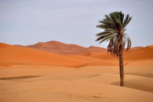 Solitaria palmera en el desierto