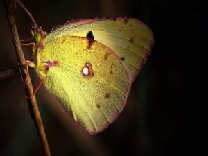 Postal: Mariposa con alas amarillas sobre una rama