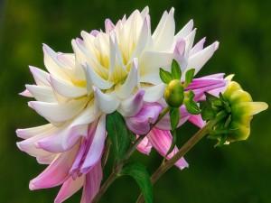 Postal: Dalia rosa y blanca